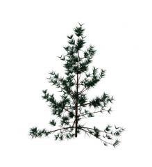 Coníferas 3ds max bloque de árboles