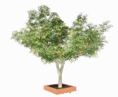 Lagerstroemia tree revit family