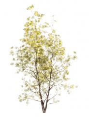 Gray Birch (Fall) tree revit family